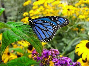 blue_monarch_butterfly_by_diamondspider-d3826qy